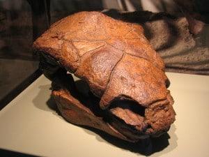 Ankylosaur Skull