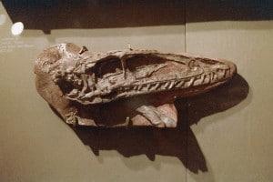 Coelophysis Skull