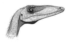 Coelophysis bauri head