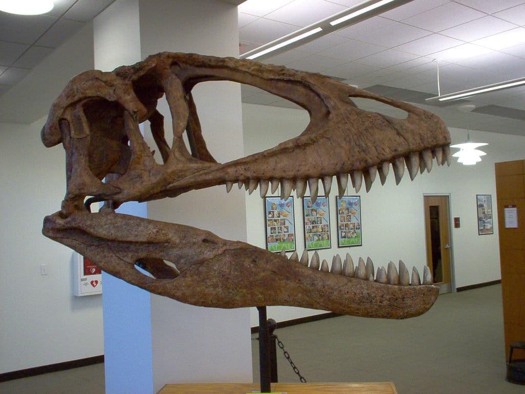 Carcharodontosaurus skull