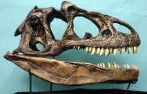 The Evolution Store Allosaurus Skull