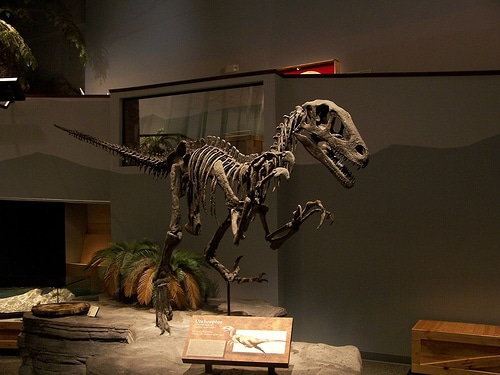 Utahraptor Skeleton