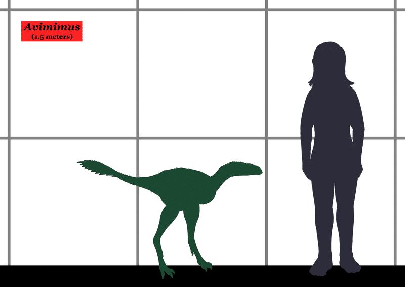 Avimimus Size Chart