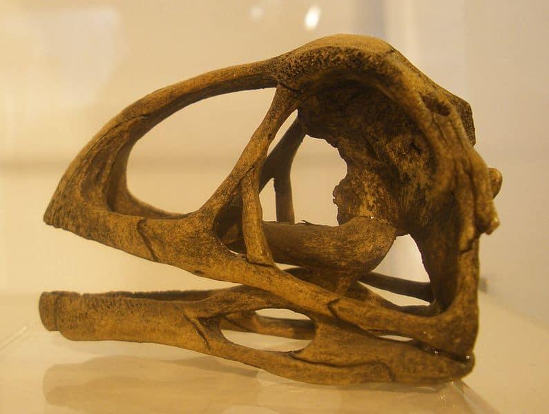 Avimimus Skull