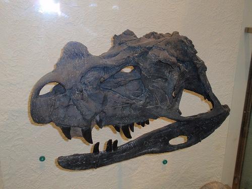 Ceratosaurus skull