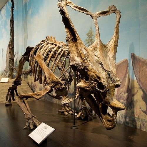 Chasmosaurus frill