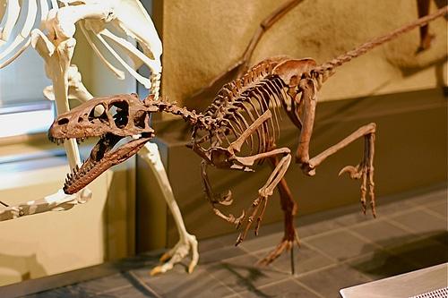 Dromaeosaurus skeleton