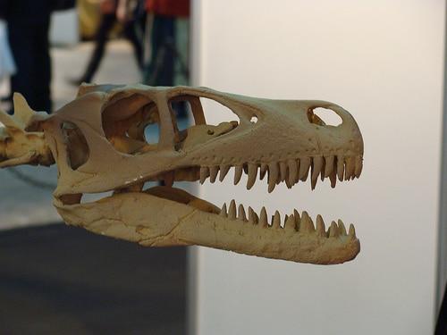 Dromaeosaurus skull