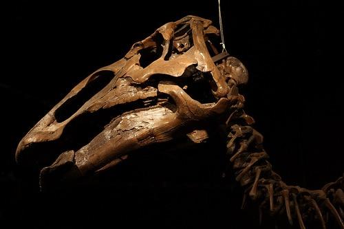 Edmontosaurus Skull