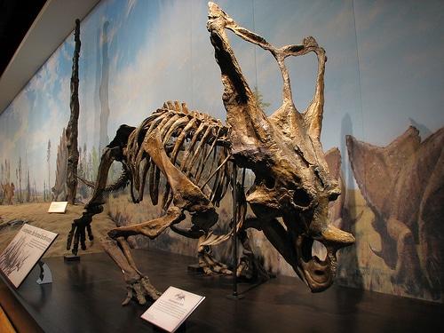 Is Eoceratops a Juvenile Chasmosaurus?