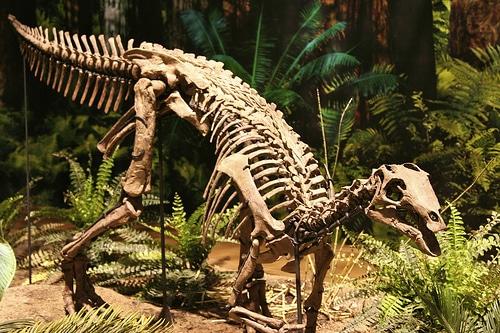 Camptosaurus skeleton
