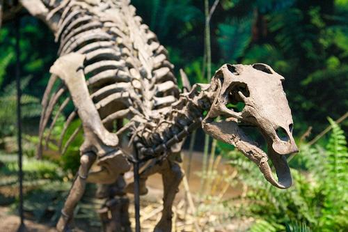 Camptosaurus skull