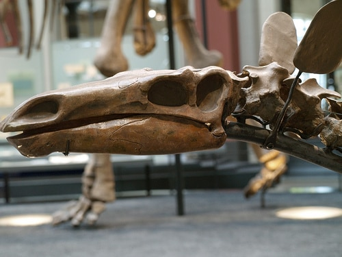 Kentrosaurus skull