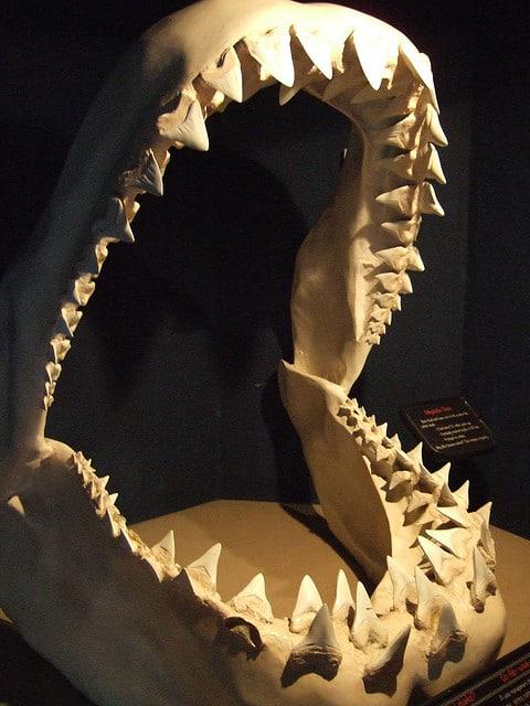 Megalodon jaws