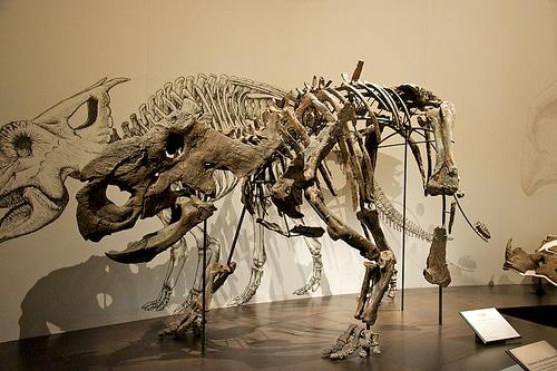 Pachyrhinosaurus skeleton