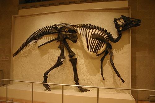 Prosaurolophus Skeleton