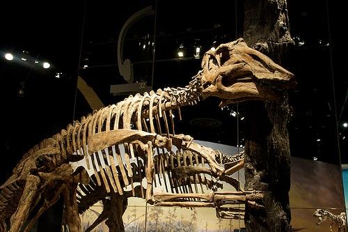 Prosaurolophus Skull