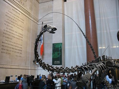 Young barosaurus