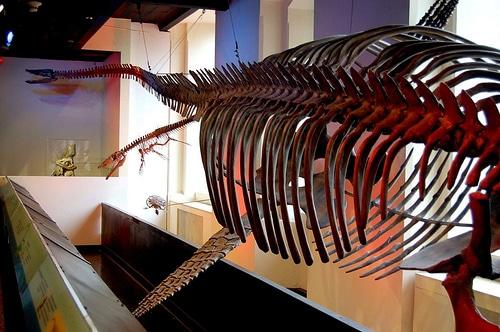 Elasmosaurus Skeleton
