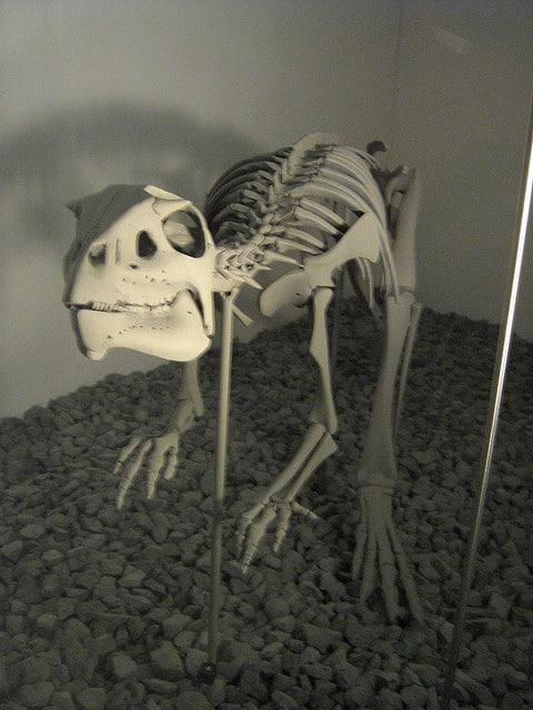 Hypsilophodon skull