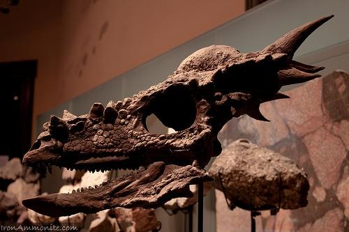Stygimoloch Skull