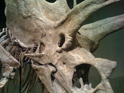 Torosaurus skull