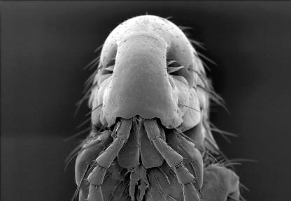 Dinosaur Fleas Had Many Differences From Modern Fleas