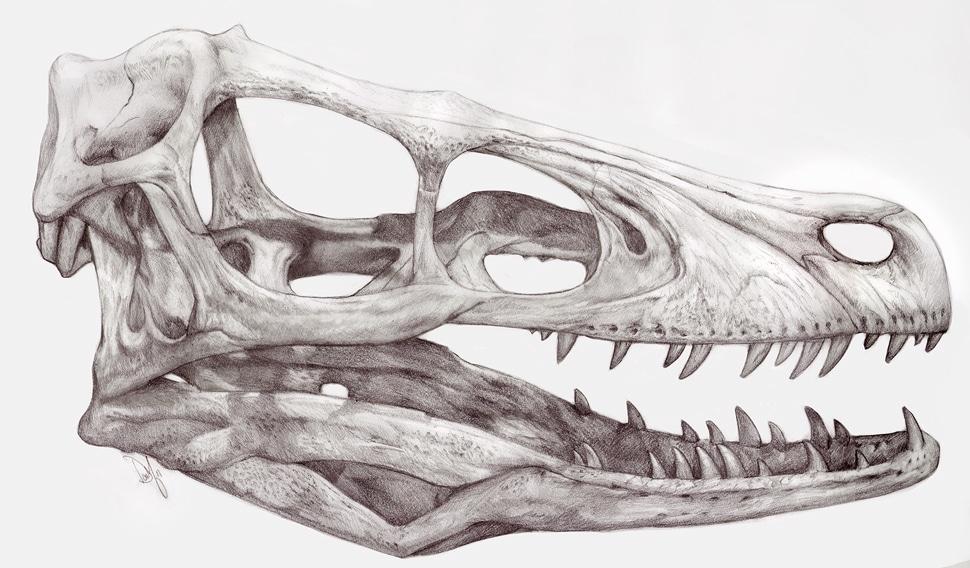 Velociraptor Art: Velociraptor skull